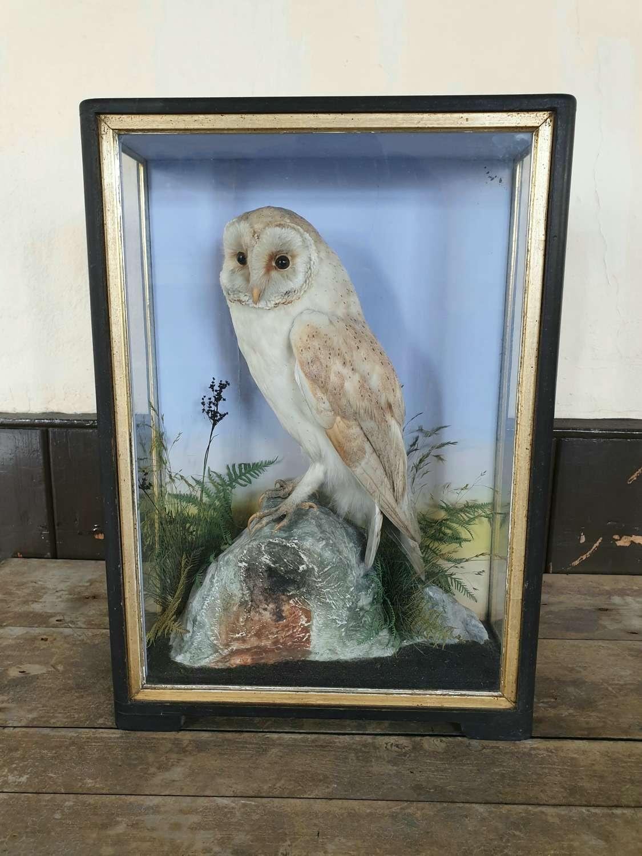Hutchings of Aberystwyth Taxidermy Barn owl