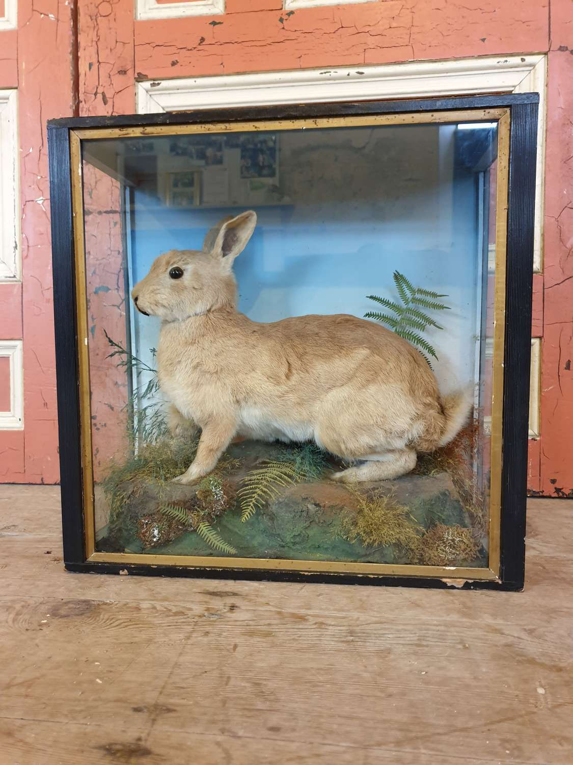 Taxidermy Rabbit By Jeffries Of Carmarthen