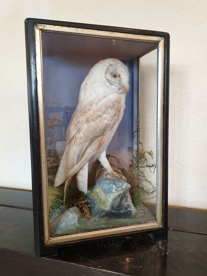 Taxidermy Barn Owl by Hutchings of Aberystwyth