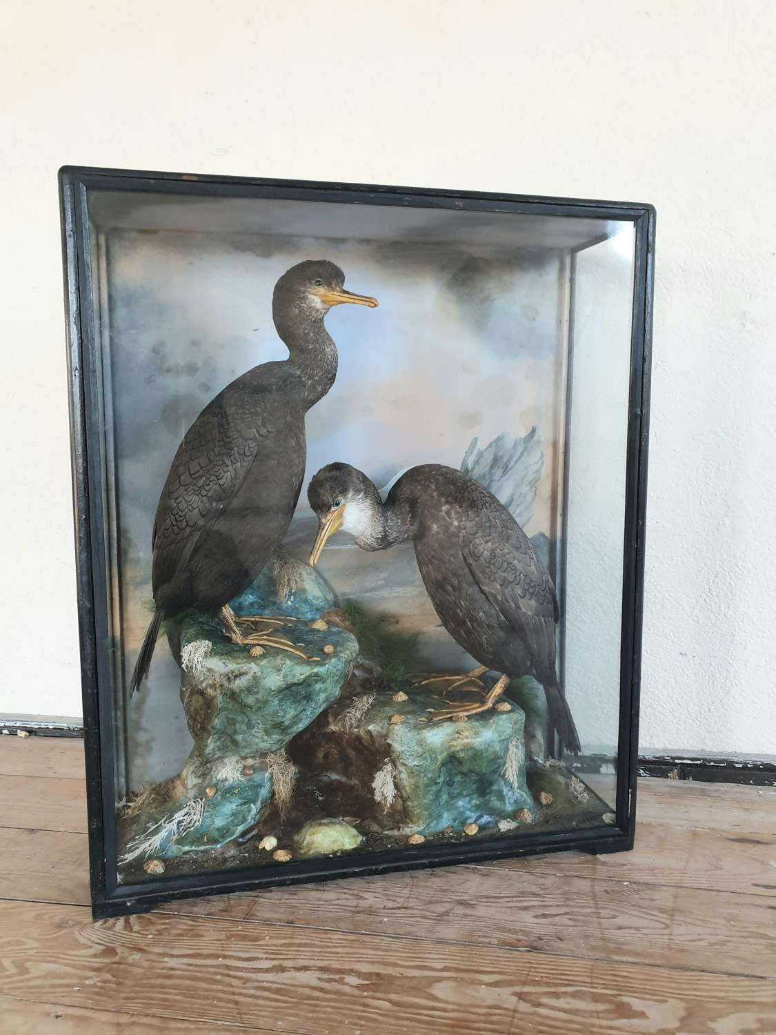 Taxidermy Cormorants by James Hutchings of Aberystwyth