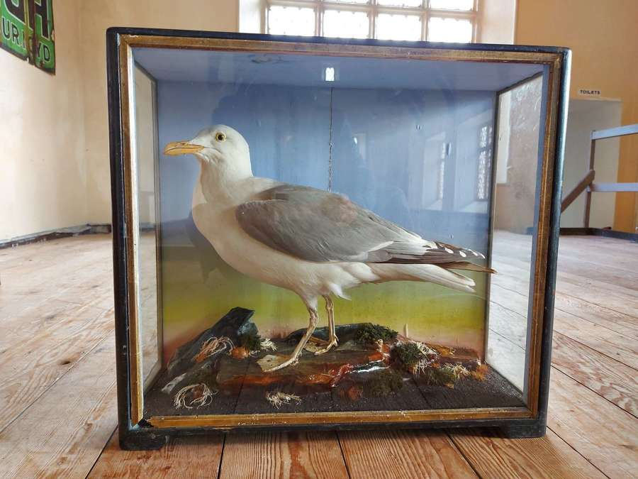 Taxidermy Sea Gull By Hutchings of Aberystwyth
