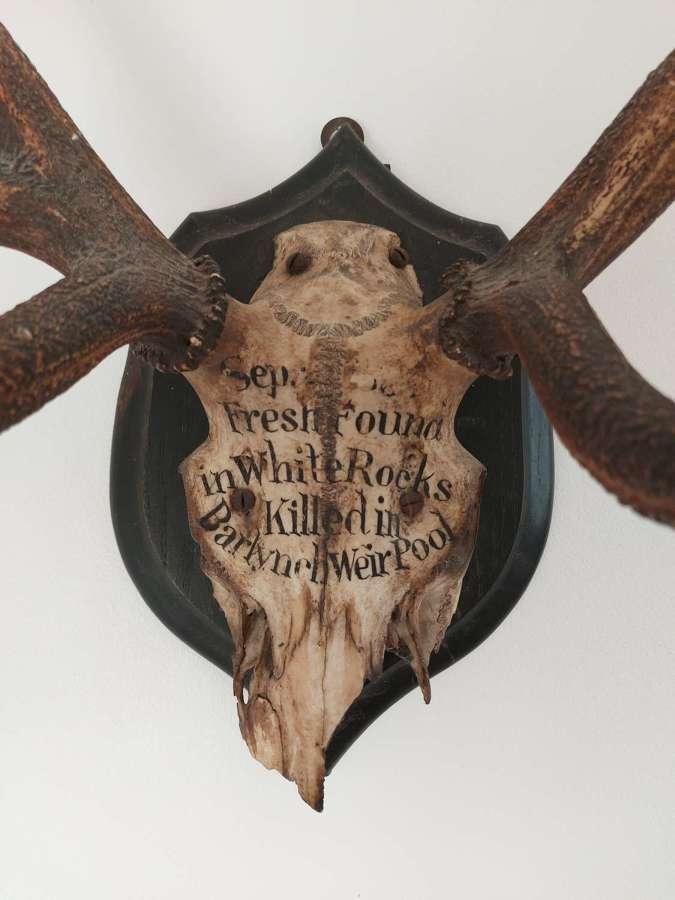 Exmoor Red Deer Antlers By Rowland Ward