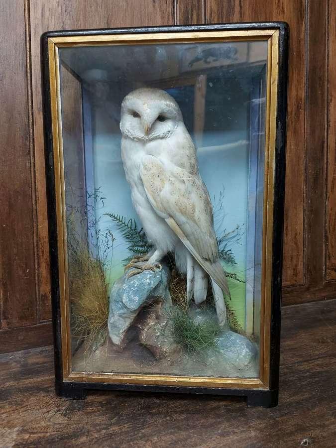 Taxidermy Barn Owl By Hutchings Of Aberystwyth